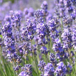 Von Lavendel und kulinarischem Genuss